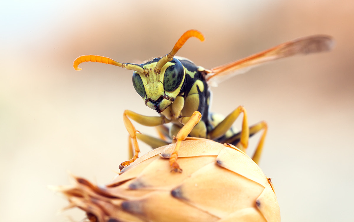 Photograph MP-E 65 Wasp portrait by Remus Moise on 500px