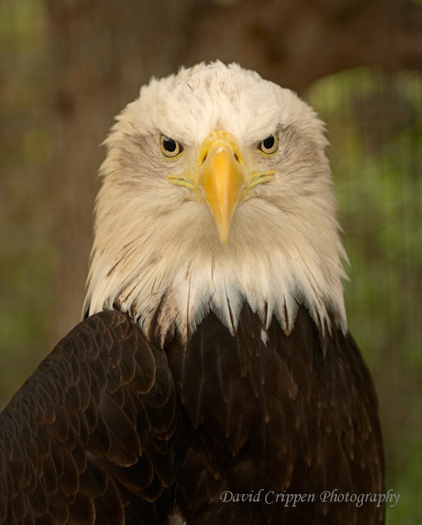 Photograph Bald Eagle by David Crippen on 500px