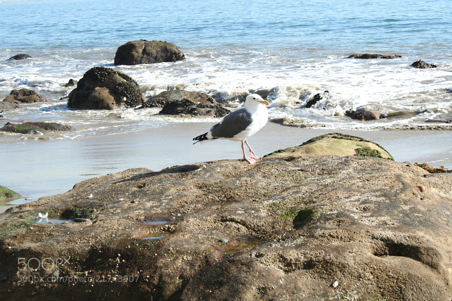 A seagull on a rock in Malibu.