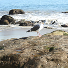 A seagull on a rock in Malibu.