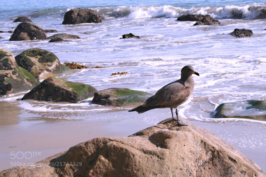 A brown seagull on a rock in Malibu.
