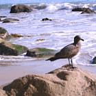 A brown seagull on a rock in Malibu.