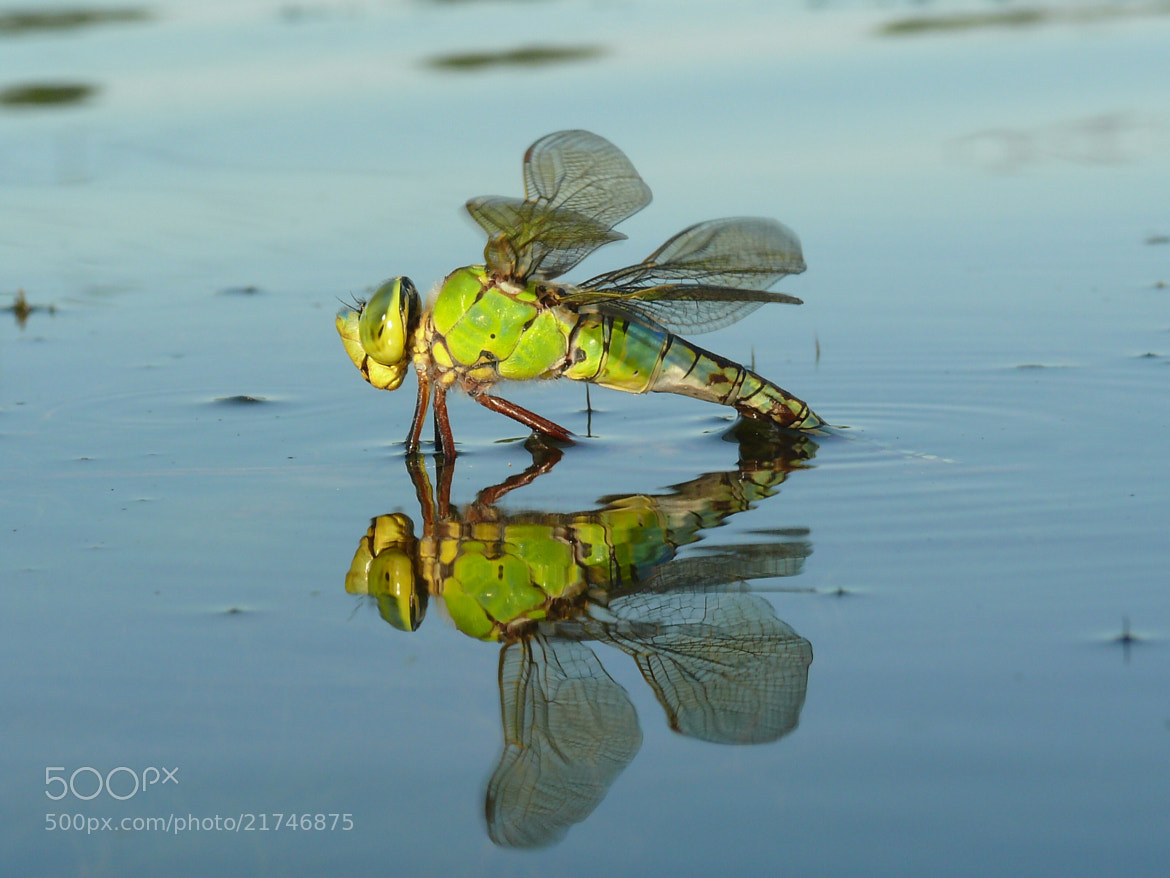 Photograph Dragonfly laying eggs in water by Petr Podroužek on 500px