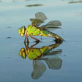 Dragonfly laying eggs in water by Petr Podroužek (petrpodrouzek)) on 500px.com