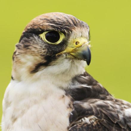 lanner falcon (1)