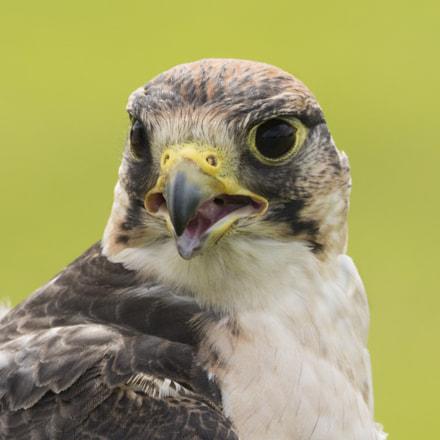lanner falcon (2)