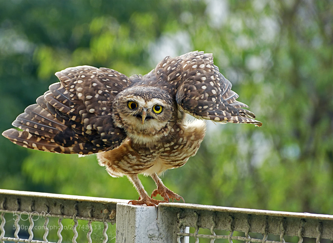 Photograph I'm glad to see you too, Owl! by Pedro Henrique Evangelista on 500px