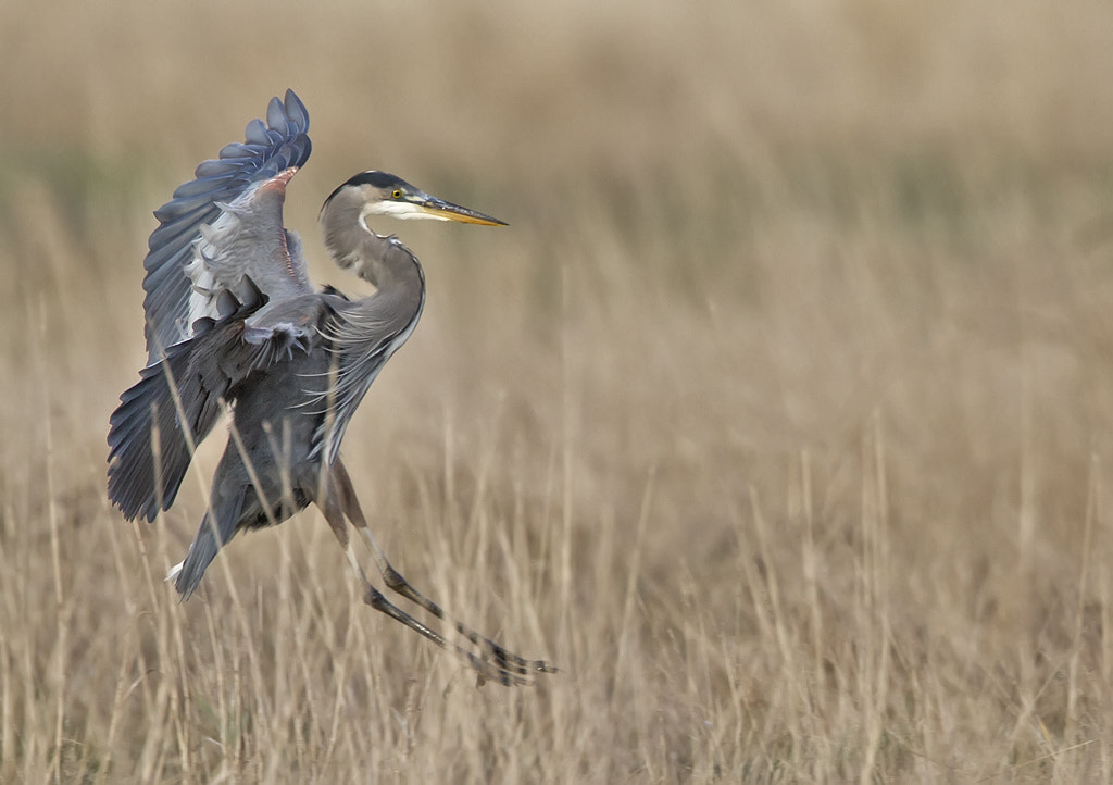 Photograph Blue Heron Landing by Duke Coonrad on 500px