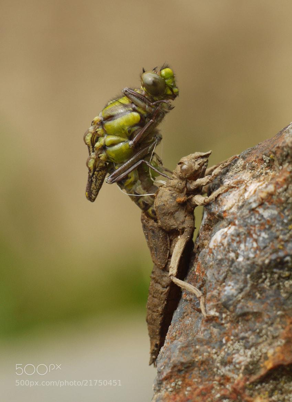 Photograph Birth of Dragonfly by Petr Podroužek on 500px