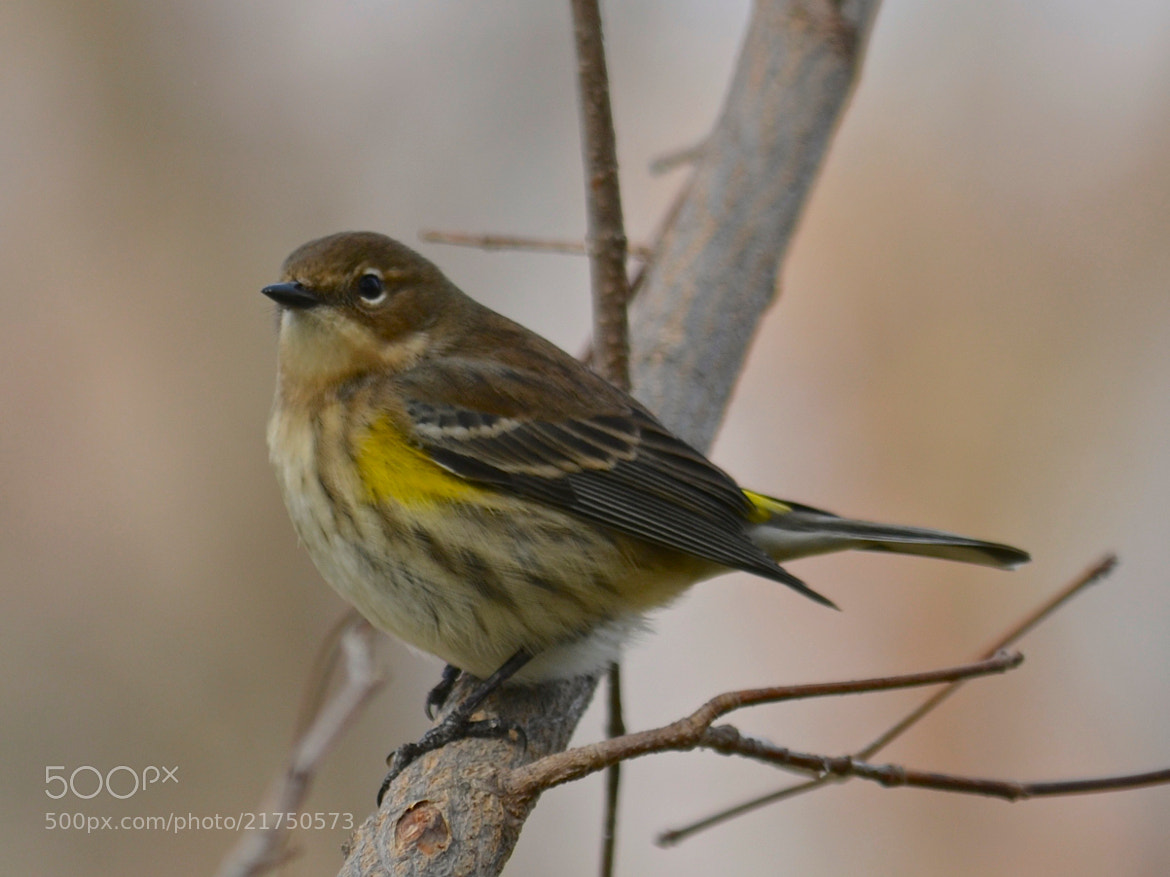 Photograph Yellow-rumped Warbler by Steven Bach on 500px