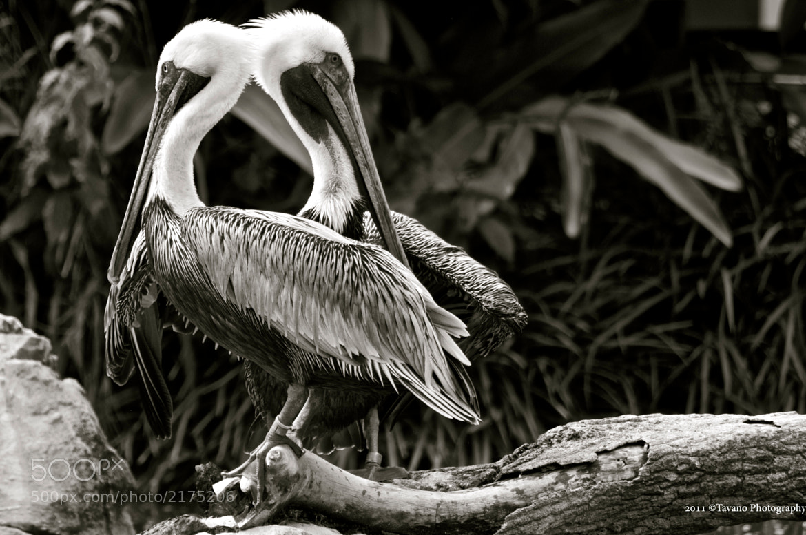 Photograph A Pelican moment 2 by Adrian Tavano on 500px