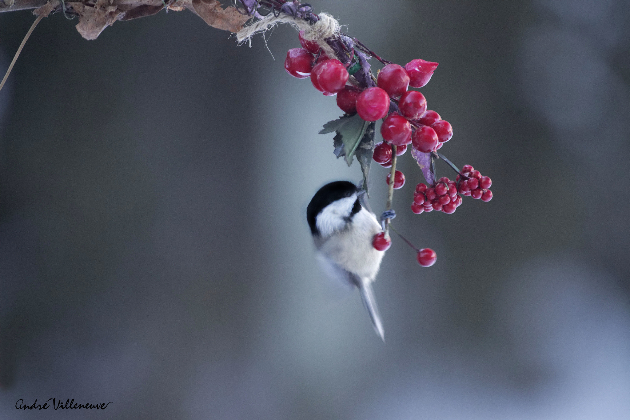 Photograph The christmas bird by Andre Villeneuve on 500px