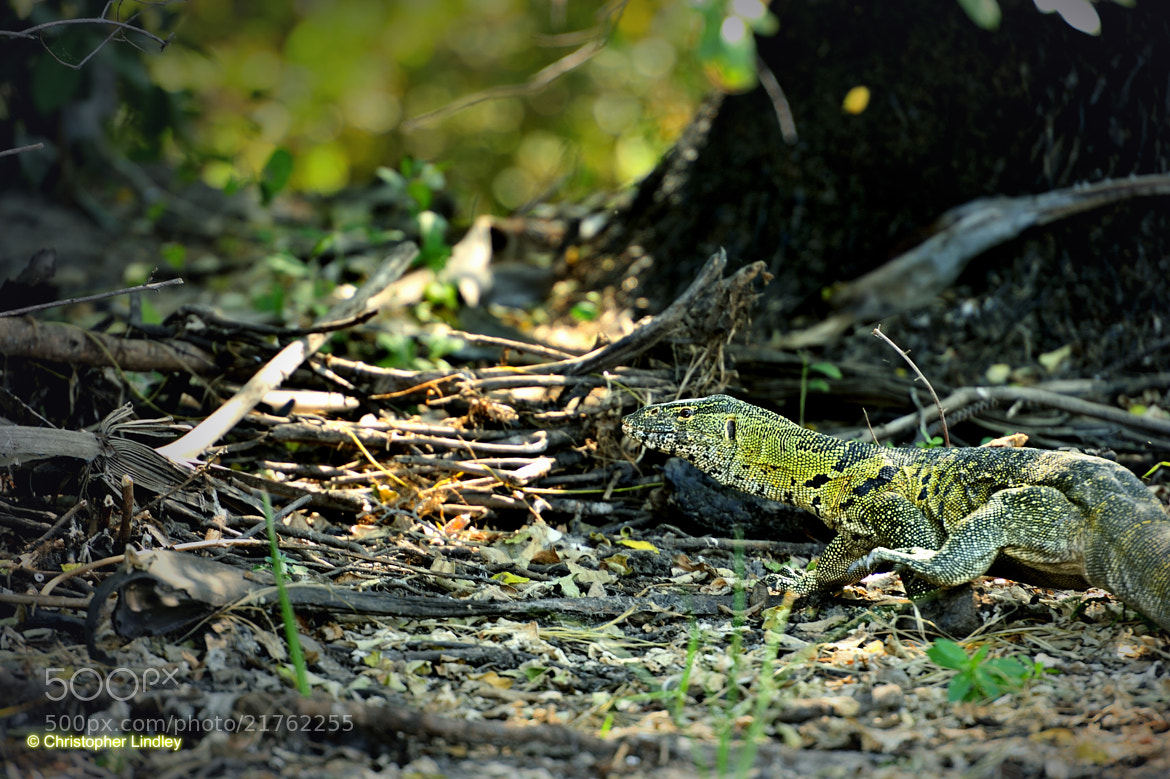 Photograph Monitor Lizard On The Run by Chris Lindley on 500px