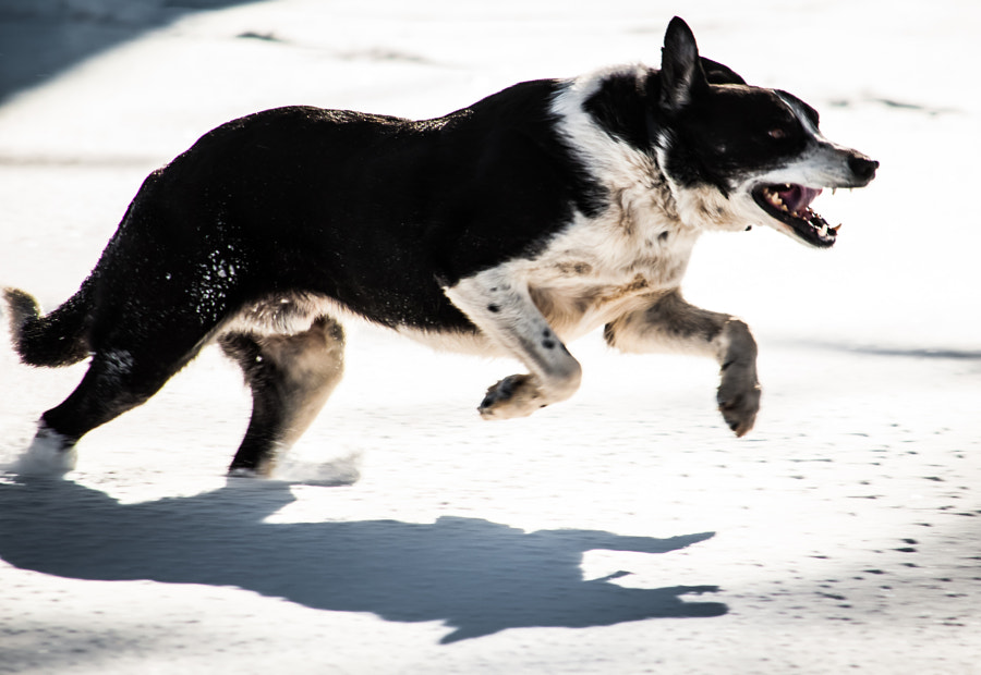 Hank was hired to chase geese off the Ford estate; but he chases anything that moves. He does absolutely nothing with it when he catches it. But then, that's what border collies were bred for: chasing.