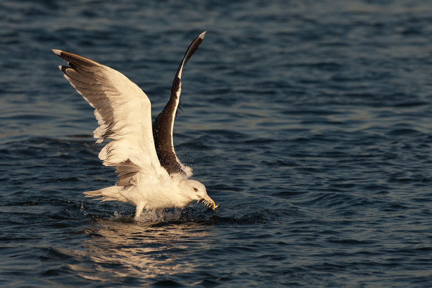 Photograph Greater Black backed Gull by Joe Iocco on 500px