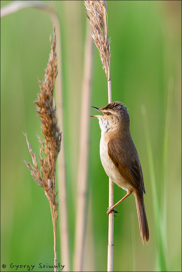 Photograph Paddyfield Warbler (Acrocephalus agricola septimus) by Gyorgy Szimuly on 500px
