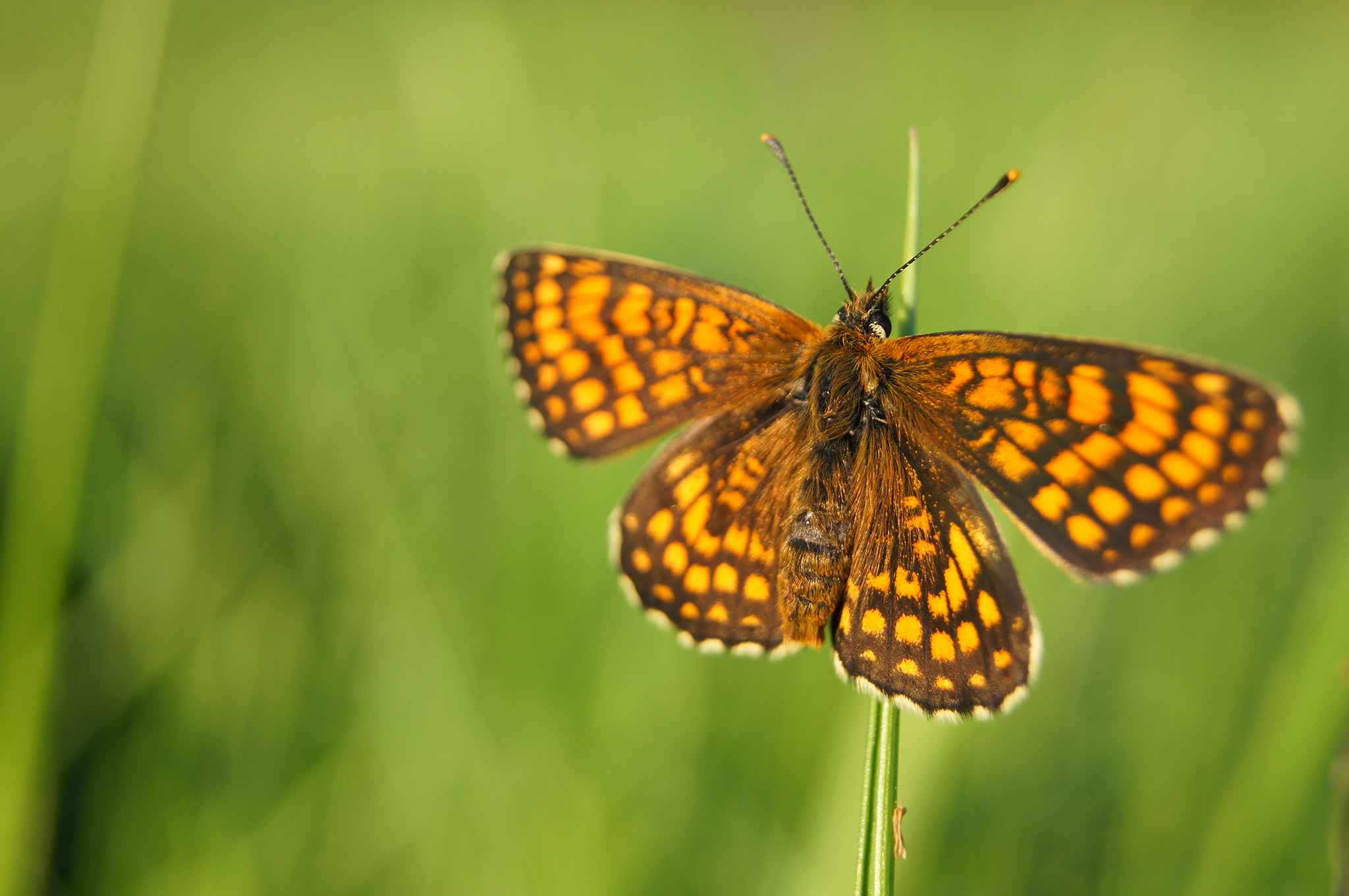 Photograph Boloria selene by Simon  Staszkowski on 500px