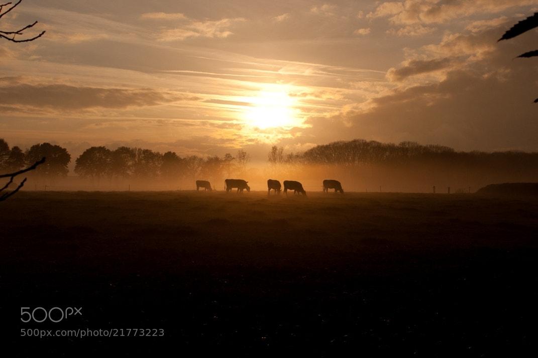 Photograph Cows in the mist by Geert-Jan Kettelarij on 500px