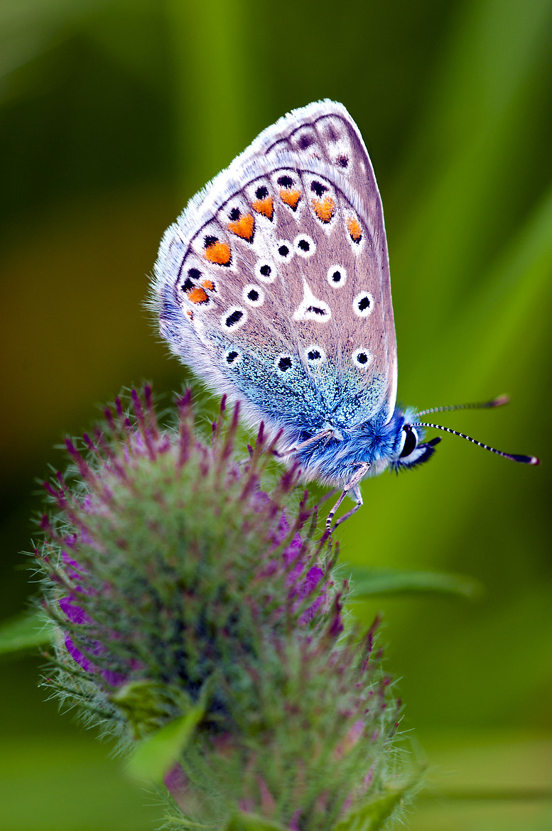 Photograph Silver-studded blue butterfly by Jeroen Stekelenburg on 500px