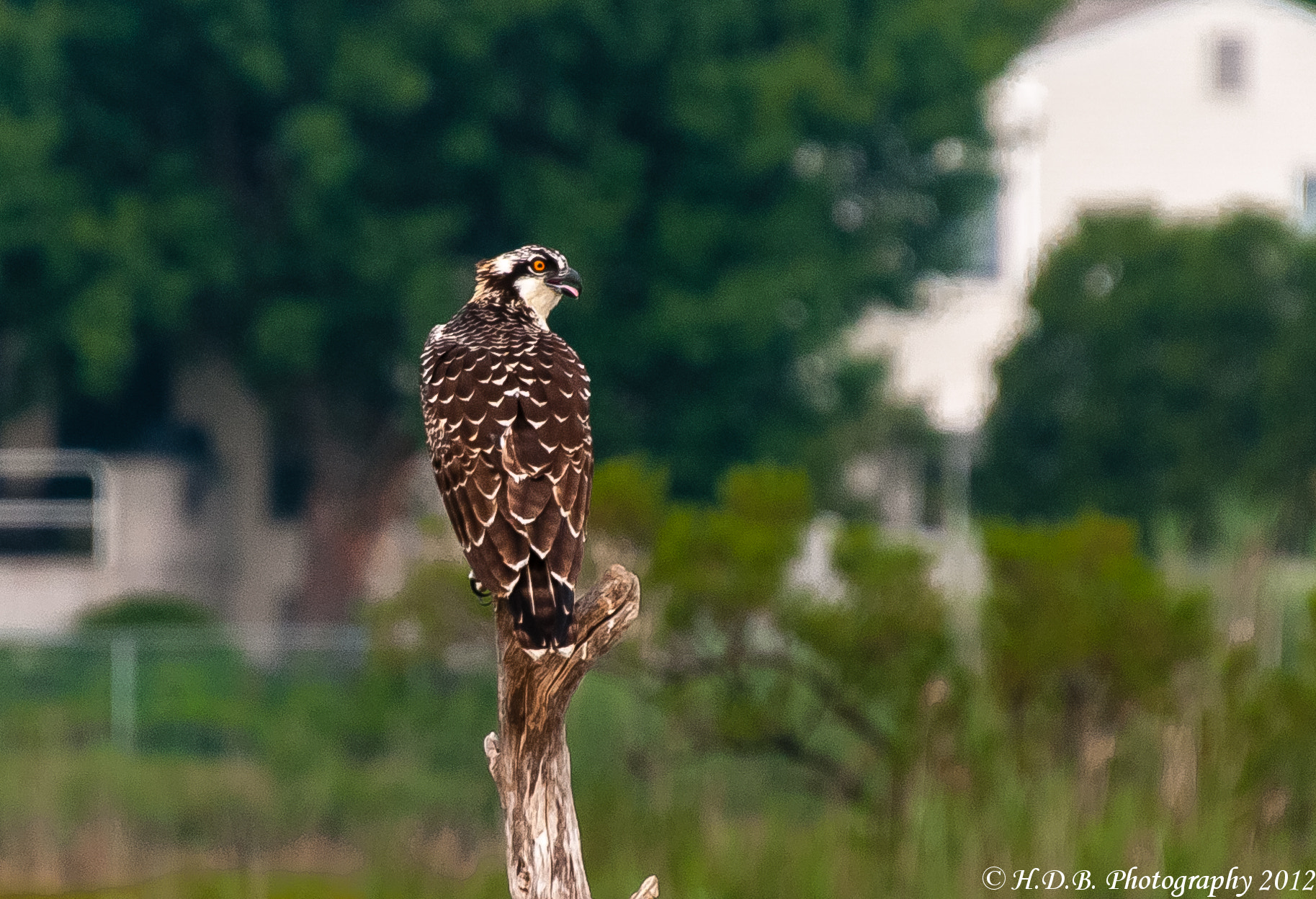 Photograph Osprey Chick by Harold Begun on 500px