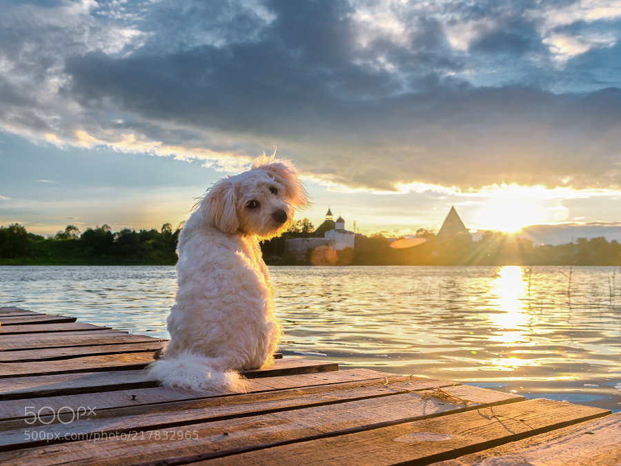 White dog on the banks of the Volkhov river meets