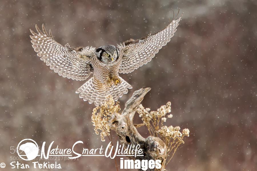 Photograph Northern Hawk Owl in winter by Stan Tekiela on 500px