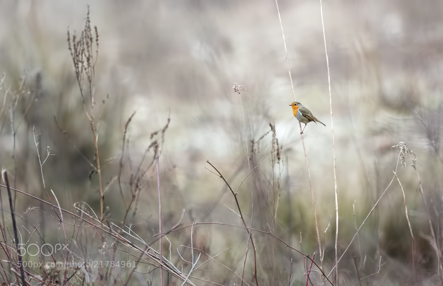 Photograph Robin, alone in the world by Stéphane ABCDEF on 500px
