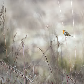 Robin, alone in the world by Stéphane HERBST (bidulon)) on 500px.com