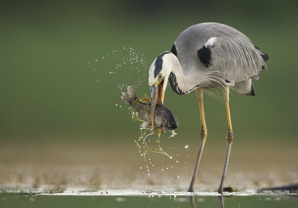 Photograph Blue Heron  by Mirek Zítek on 500px