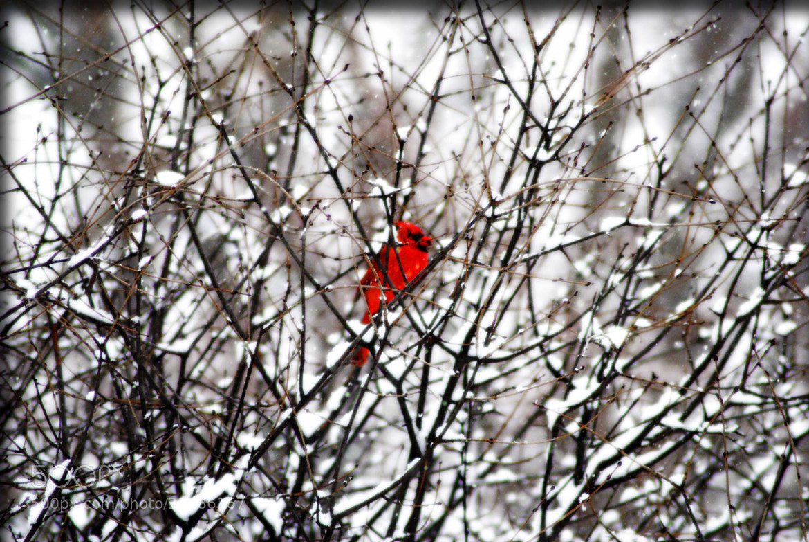 Photograph Winter Cardinal by cheryl rendino on 500px