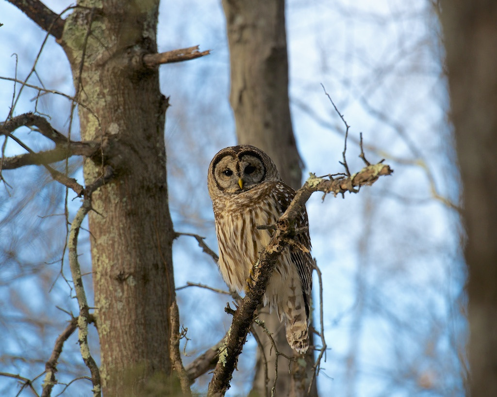 Photograph New Jersey Barred Owl by John F Hark on 500px