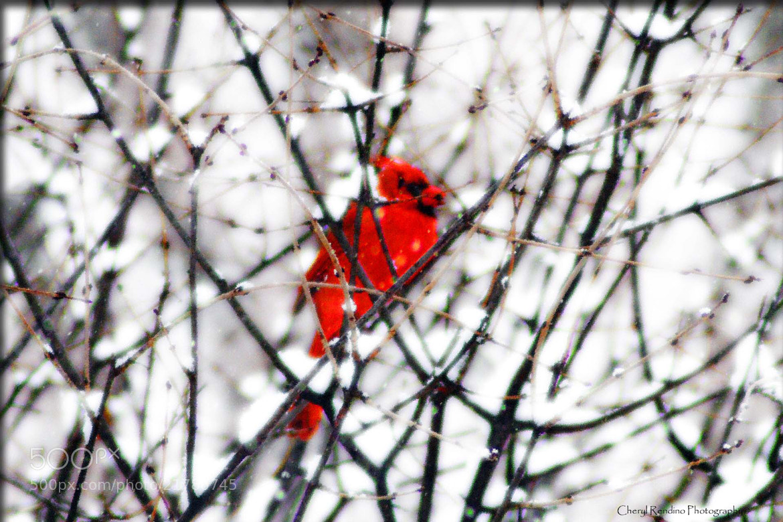 Photograph winter cardinal II by cheryl rendino on 500px