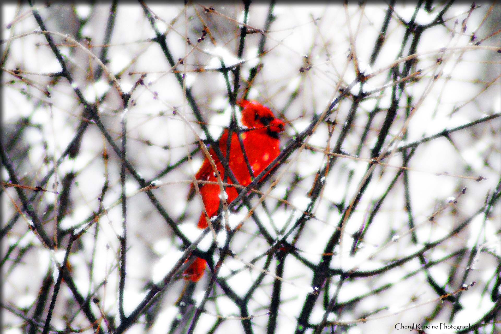 Photograph winter cardinal II by cheryl rendino on 500px
