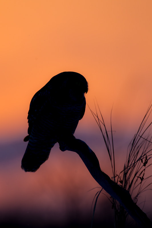 Photograph Northern Hawk Owl at sunset by Stan Tekiela on 500px