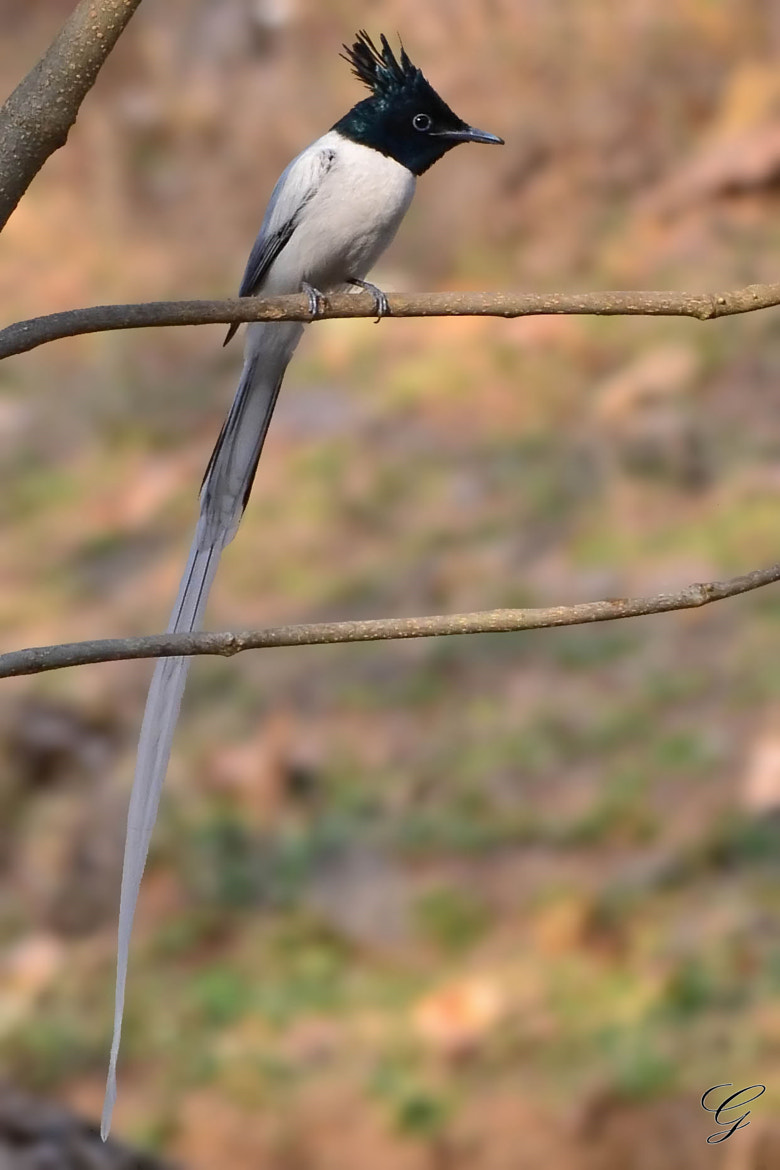 Photograph Asian Paradise Flycatcher by Geet Tryambake on 500px