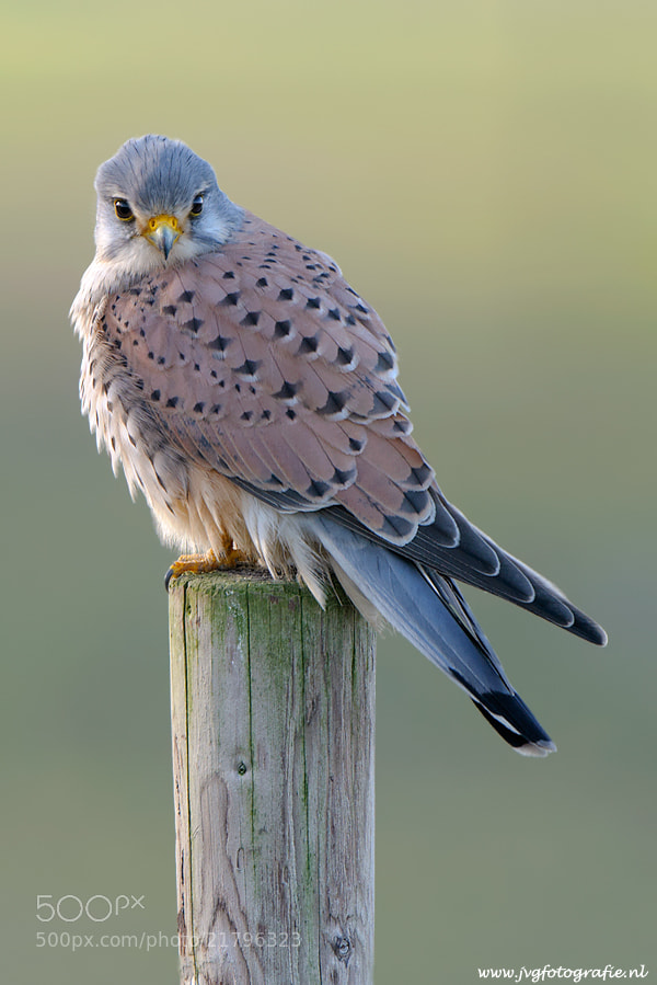 Photograph Male Kestrel by Johan van Gool on 500px