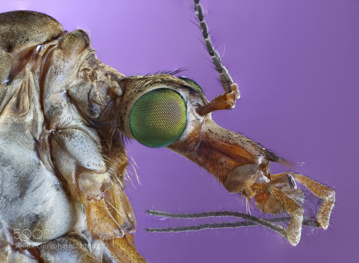 Photograph Tipula II by Carles  Just on 500px