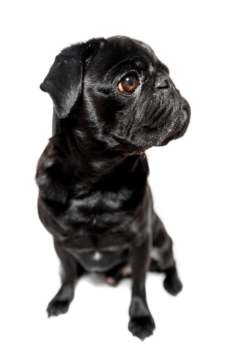 Photograph my pug Henry IV by Marco Baum on 500px