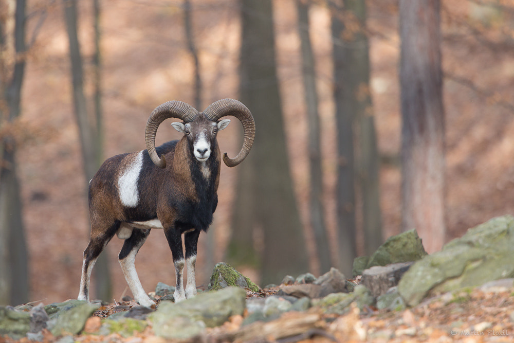 Photograph Mouflon in the forest by Martin Platil on 500px