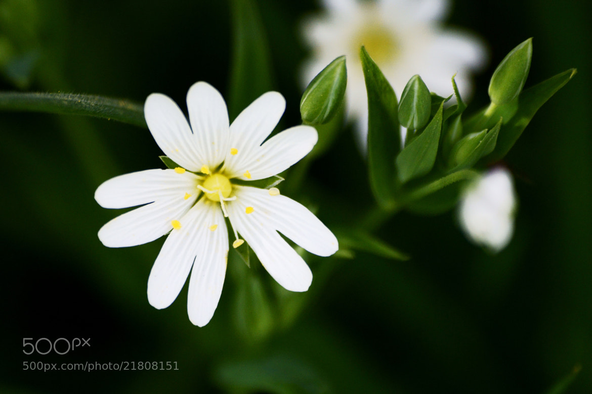 Photograph White flower close up by Emma Samuel on 500px