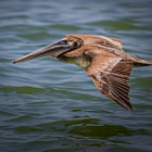 A pelican gliding along looking for a meal outside of Siesta Key, FL