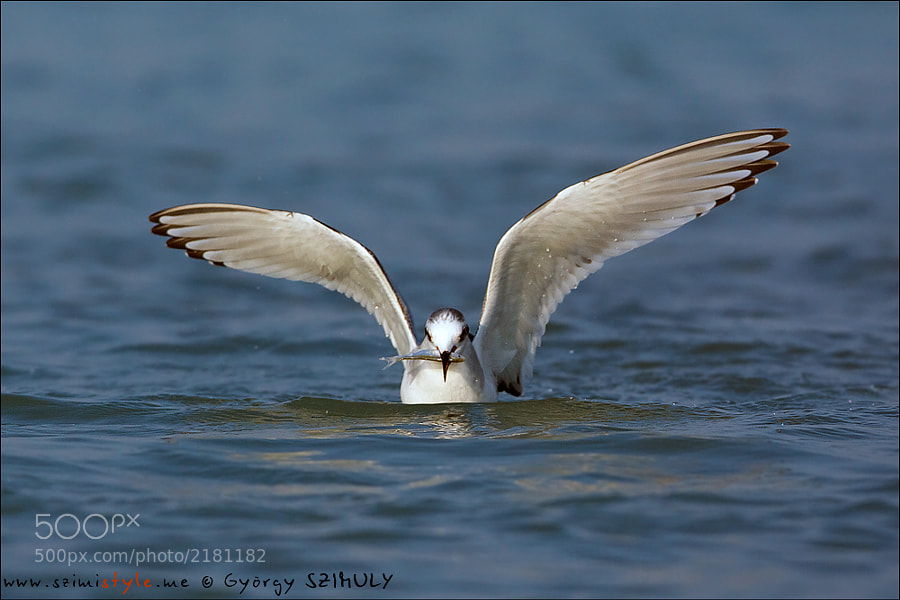 Photograph Little Gull (Hydrocoloeus minutus) by György Szimuly on 500px