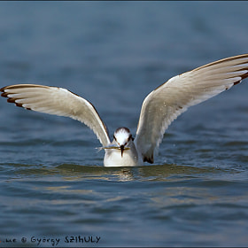 Little Gull (Hydrocoloeus minutus) by György Szimuly (SzimiStyle)) on 500px.com
