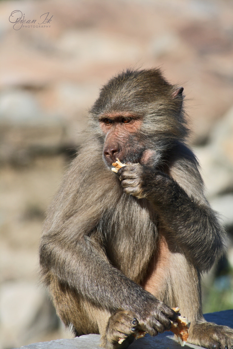 Photograph baboon by Orjwan Isk on 500px