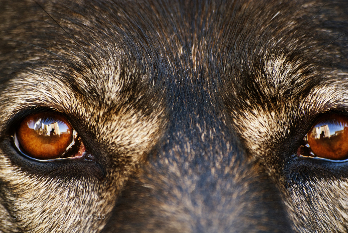 Photograph German Shepherd Eyes by Emma Samuel on 500px