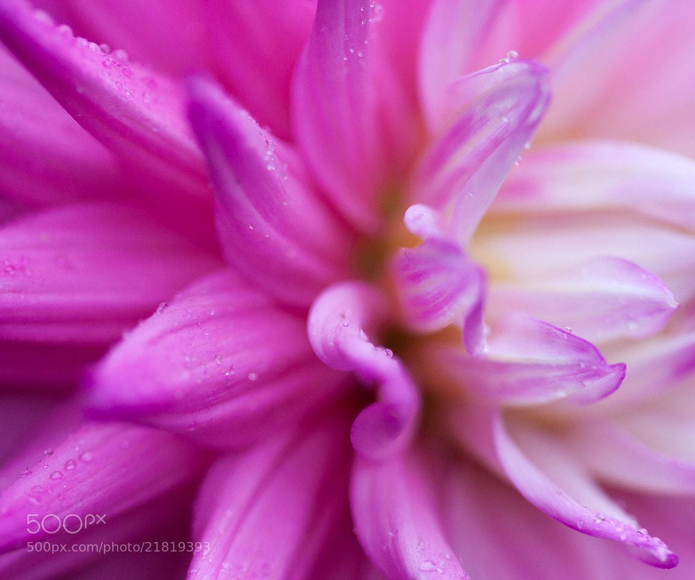 Photograph Pink Petals by David Arthur on 500px