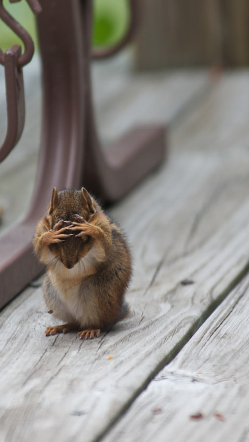 Confused Chipmunk HD by Michael Holliday on 500px.com