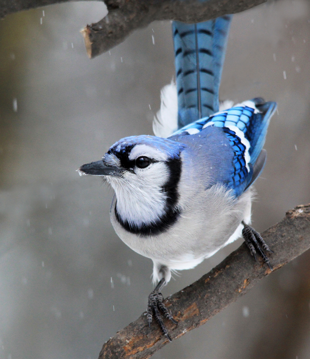 Photograph Bluejay in Snow by Brian Masters on 500px