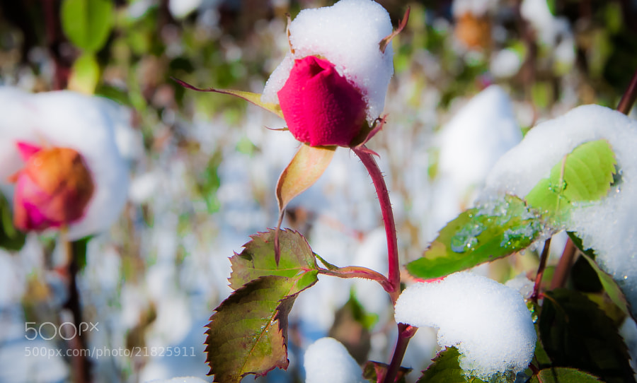 Eleanor Ford's rose garden retains a beauty even in the winter.