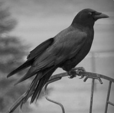 Photograph Black Crow by Uta Abate on 500px